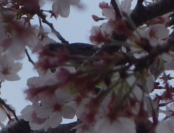 桜の花とヒヨドリ