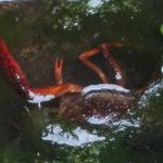 近所の用水路に棲息しているザリガニの観察2020