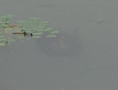 ミシシッピアカミミガメ