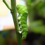 ナミアゲハの幼虫の蛹化と羽化