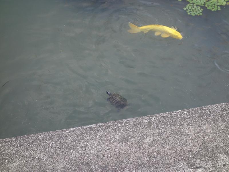 ミシシッピアカミミガメと錦鯉