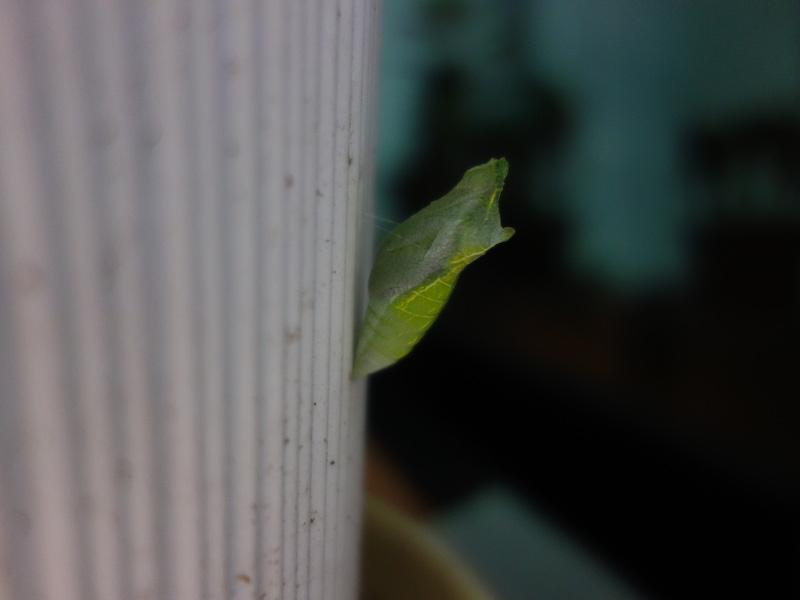 アゲハの幼虫の蛹