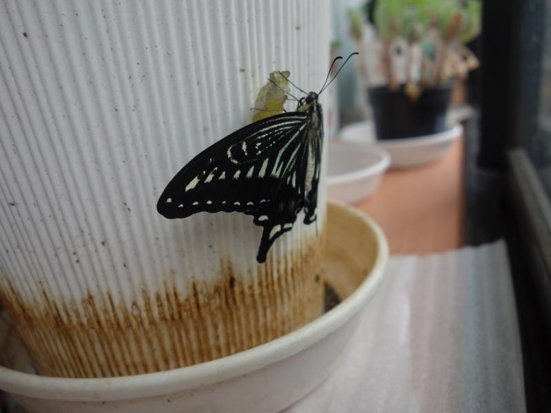 羽化したナミアゲハ