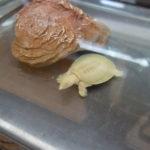 アルビノシナスッポンの幼体の飼育