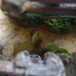 台湾生まれのシナスッポンの幼体の飼育